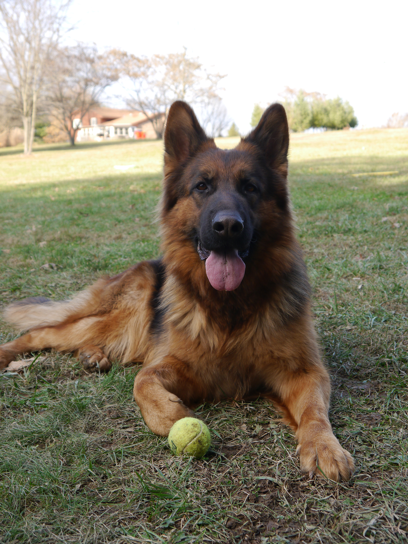 European German Shepherds Breeding Program
