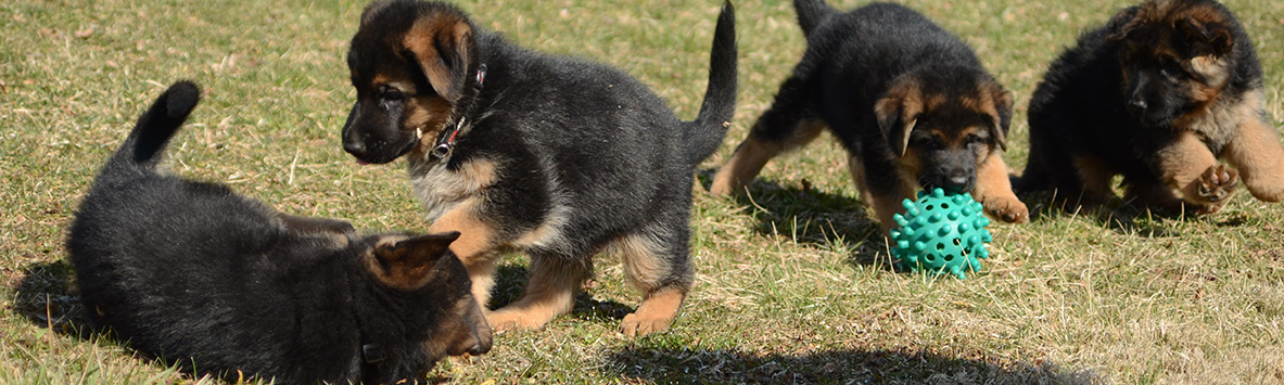 German Shepherds For Sale In Maryland And Delaware And Virginia